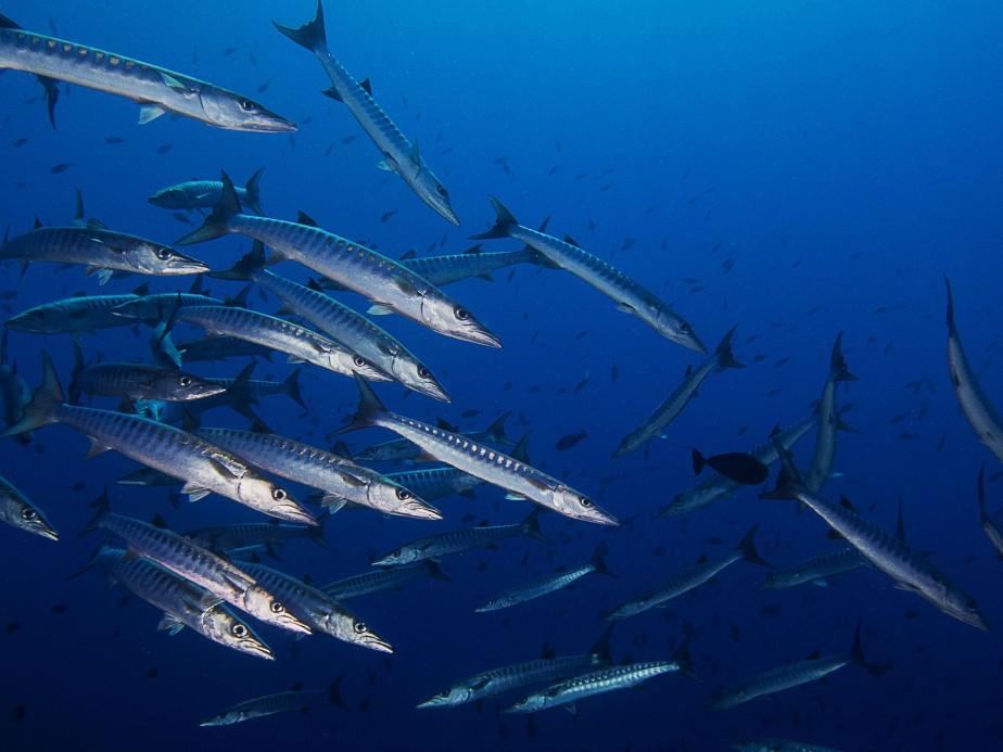 badass barracuda