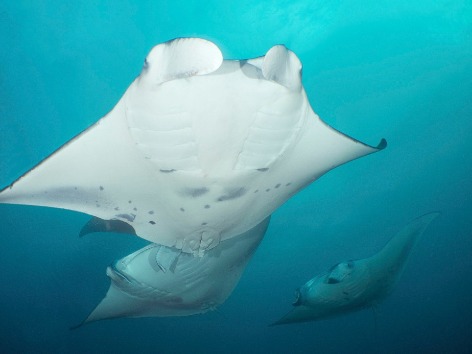mad for mantas